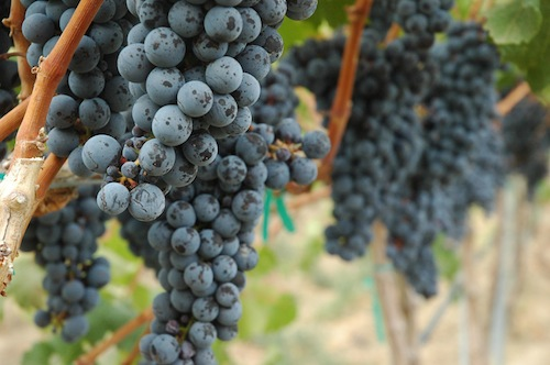 Cold Creek Vineyard is in Washington Merlot country.