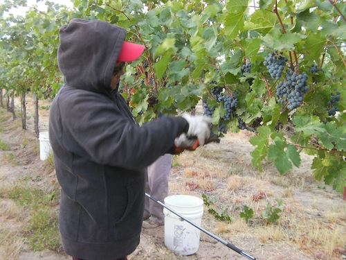 Wine grapes are harvested by hand at Cold Creek Vineyard in Washington state.