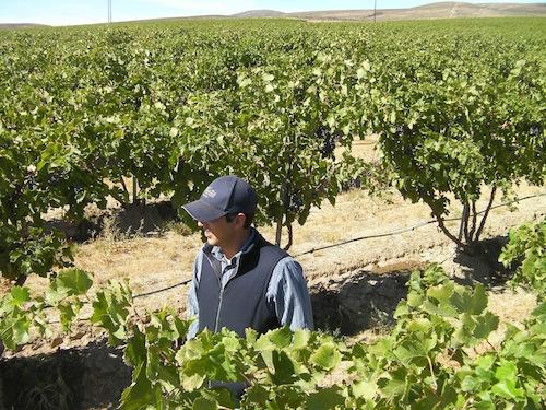 Joe Cotta, vineyard manager at Cold Creek Vineyard, walks through the vines in Washington state.