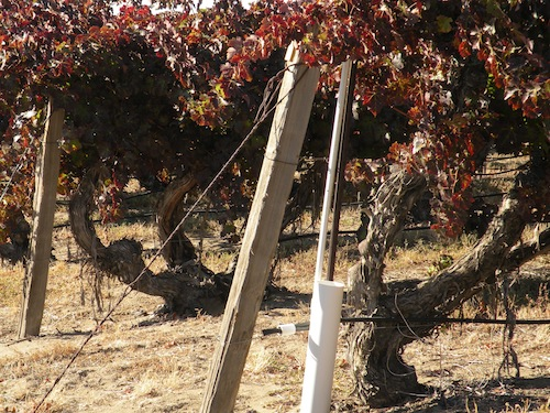 Cabernet Sauvignon vines at Otis Vineyard near Grandview, Washington, were planted in 1956.