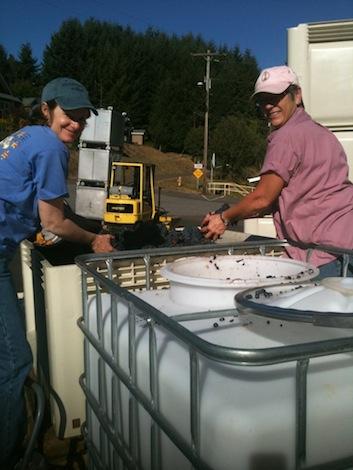 Sue Brandborg, left, prepares Pinot Noir for whole-cluster fermentation during 2013 crush at Brandborg Winery & Vineyard in Elkton, Ore.