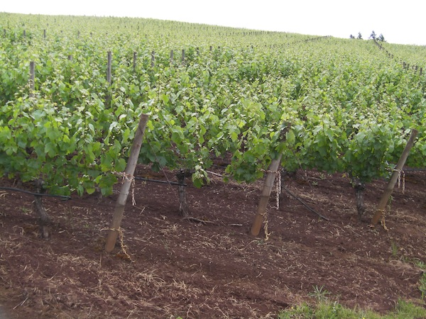 The vineyards surrounding Domaine Drouhin Oregon feature the famous red soils of the Dundee Hills.