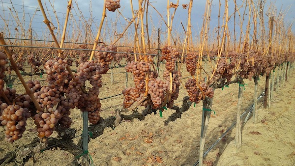 Lawrence Vineyard, the estate vineyard for Gard Vintners in Royal City, Wash., harvested Riesling for ice wine on Friday, Dec. 6, 2013. (Photo by Aryn Morell/courtesy of Gard Vintners)