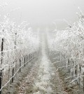 cold feature 120x134 - Sub-freezing temperatures don't concern Washington wine grape growers