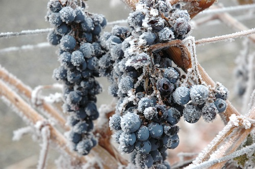 Wine grapes get a layer of frost in Washington wine country.