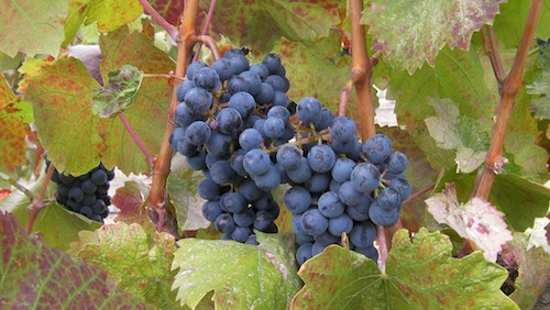Lemberger is grown in Washington state and is made into a delicious red wine.