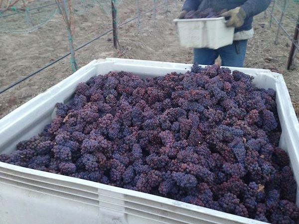Lawrence Vineyard, the estate vineyard for Gard Vintners in Royal City, Wash., harvested Pinot Gris for ice wine on Monday, Dec. 9, 2013.