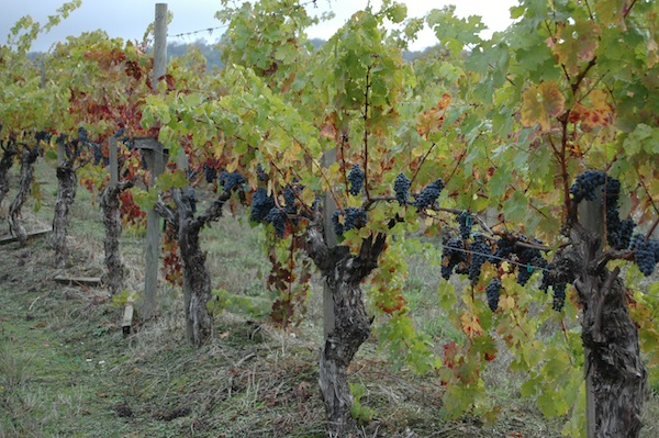 Clusters of Cabernet Sauvignon at Spangler Vineyards in Roseburg, Ore., received plenty of October hangtime during the 2013 vintage.