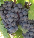 zinfandel feature 120x134 - Zinfandel, Primitivo two sides of same coin