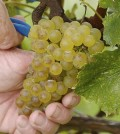 chardonnay grapes smwe feature 120x134 - Affordable whites wine abundant across Pacific Northwest