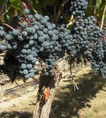 malbec feature 120x134 - Washington Malbec grows up: 7 to try