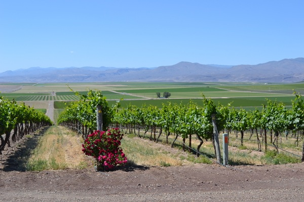 Skyline Vineyard near Nampa is Idaho's large planting at 400 acres.