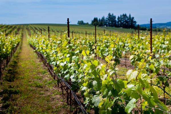 Goodrich Road Vineyard is one of several Oregon plantings that once belonged to Premier Pacific Vineyards.