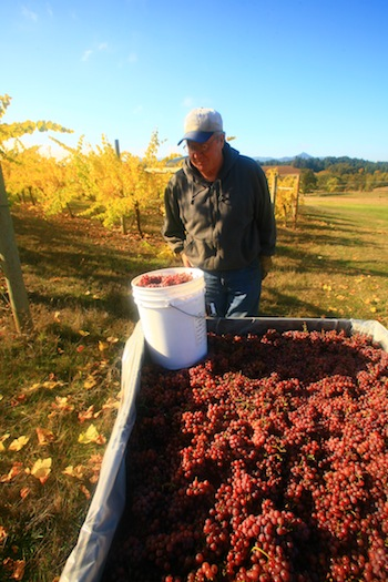 John Bradley of Elkton, Ore., looks upon another crop of his acclaimed Gewurztraminer from Bradley Vineyards.