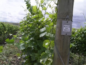 Dusted Valley Vintners planted two clones of Syrah at their Stoney Viney Vineyard near Milton-Freewater, Ore.