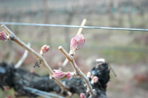 Bud break occurs in the Horse Heaven Hills of Washington state.