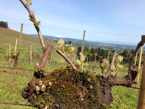 Willamette Valley bud break