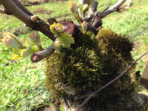 Willamette Valley bud break