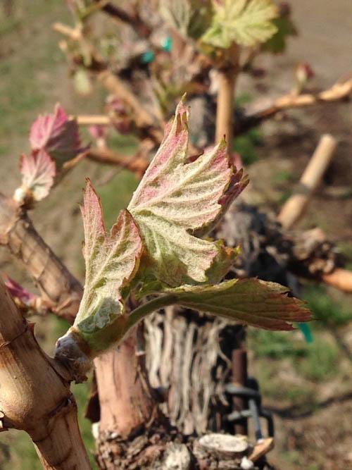 Red Mountain bud break