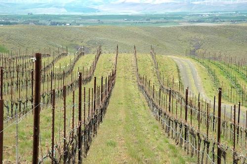 A Walla Walla Valley vineyard shows indication of bud break.