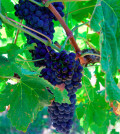 bcwi grape cluster featured 120x134 - BC wine industry reports 15 percent tonnage increase