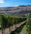 okanagan valley vineyard near oliver featured 120x134 - Gewurztraminer by BC winery wins best white at Canada's largest judging