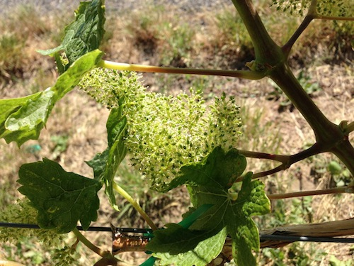 Clusters bloom at Woodward Canyon Winery's estate vineyard in the northern Walla Walla Valley.