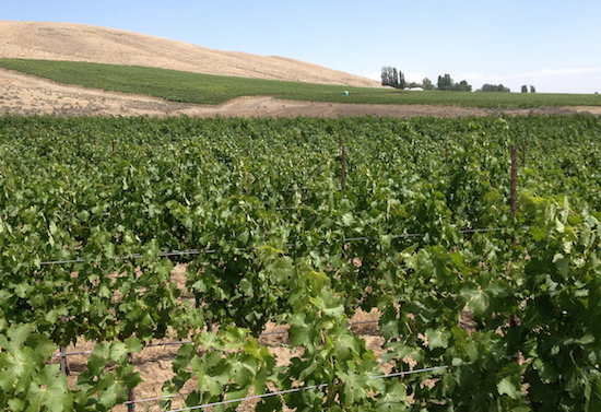 Shaw Vineyards has been established along the southwest slopes of Red Mountain and overlooks the town of Benton City, Wash.