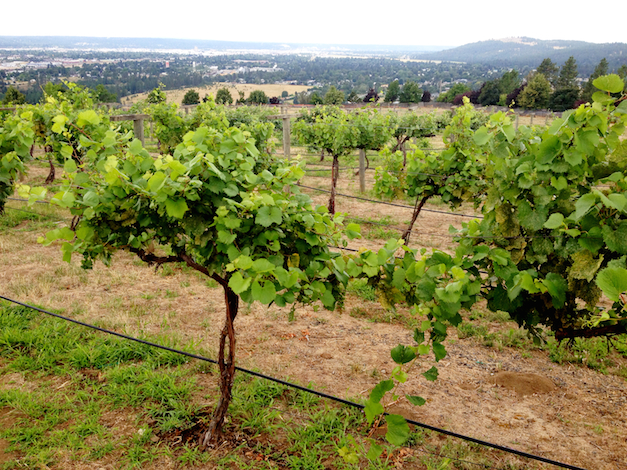 The vines at Arbor Crest Wine Cellars in Spokane, Wash., continue to add growth during the 2014 vintage, which is threatening records as the growing degree days accumulate.