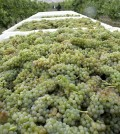 viognier feature 120x134 - The madness of Viognier