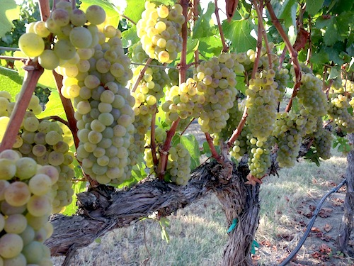 Washington winemakers are picking Chardonnay grapes right now.