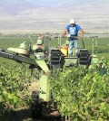 Harvesting grapes on the Wahluke Slope.