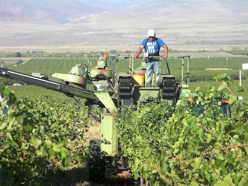 Harvesting grapes on the Wahluke Slope.