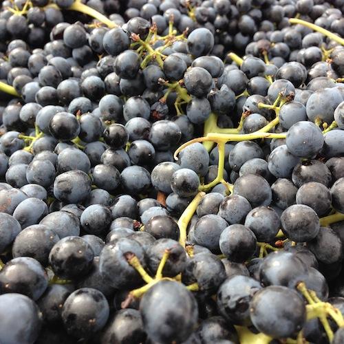 Merlot grapes at Northstar Winery.
