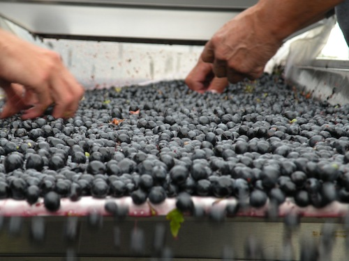 Hand sorting at Reininger Winery during 2013 wine grape harvest