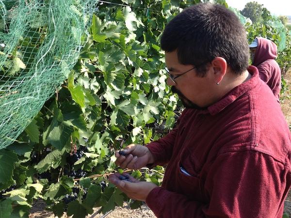 Martin Fujishin of Fujishin Family Cellars in Caldwell, Idaho, samples Syrah clusters in Williamson Vineyard.