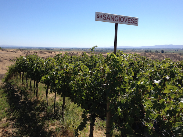 Sangiovese, planted in 1996, ripens at Red Willow Vineyard in the western edge of the Yakima Valley.