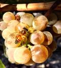 bee at sugarloaf vineyard 120x134 - Northwest wine industry keeps eye on Typhoon Vongfong