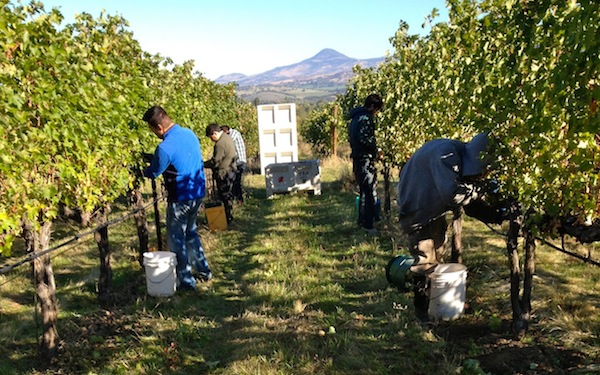 Trium Wines in Talent, Ore., picks Cabernet Sauvignon from Pheasant Hill Vineyard on Friday, Oct. 3, 2014.