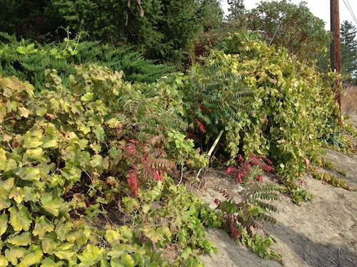 These wild vines are growing on Harrison Hill. They remain a mystery.