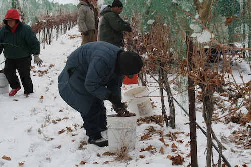 Ice wine harvest takes place in Idaho's Snake River Valley.