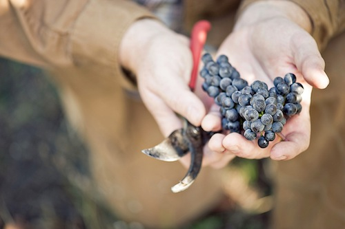 A vineyard worker inspects a cluster of Pinot Noir grapes from the warm, large 2014 harvest in Oregon's Willamette Valley. (Photo courtesy of the Oregon Wine Board)