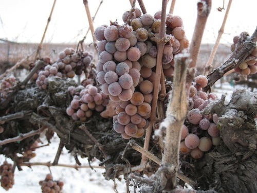 Ice wine harvest in Chateau Ste. Michelle.