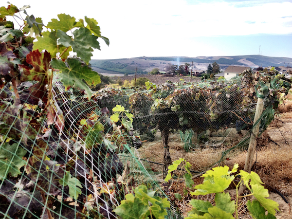 The Newhouse family casts nets over Harrison Hill Vineyard to protect the fruit for DeLille winemaker Chris Upchurch.
