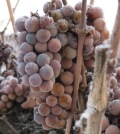 icewine feature 120x134 - Thanks to cold snap, Northwest ice wine harvest comes early
