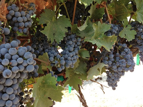 Red wine grapes ripen in Idaho wine country