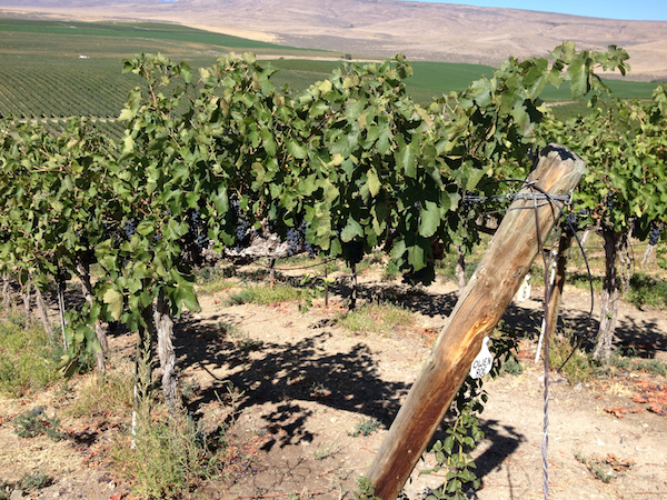 The Sauer family at Red Willow Vineyard allows Owen Roe Winery grapes for the 2014 vintage to mature in the Yakima Valley.