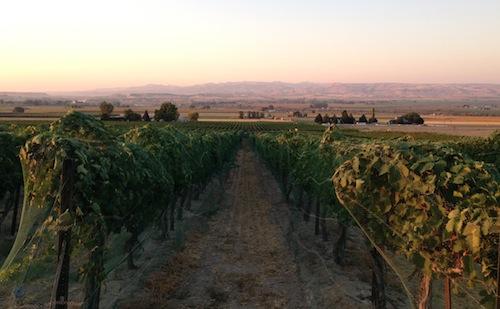 williamson-vineyard