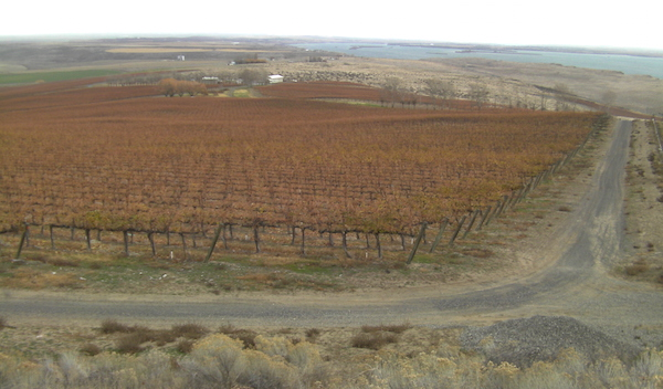 Vines at Canoe Ridge Vineyard harden off in time for winter, but the nearby Columbia River to the south offers some protection from bitter cold temperatures.