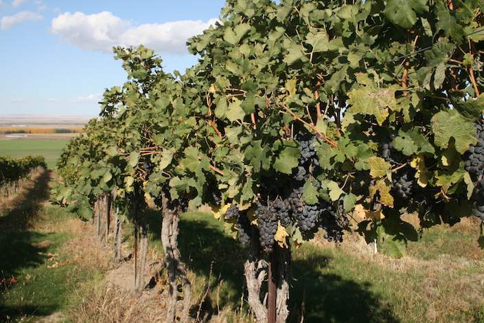 Canoe Ridge Vineyard in the Horse Heaven Hills of Washington first was planted to Merlot and Cabernet Sauvignon in 1989.